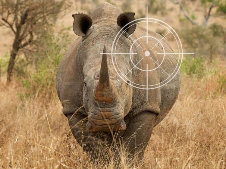 Nashörner: Ein Kilo ihres Horns bringt rund 60.000 Euro auf dem Schwarzmarkt