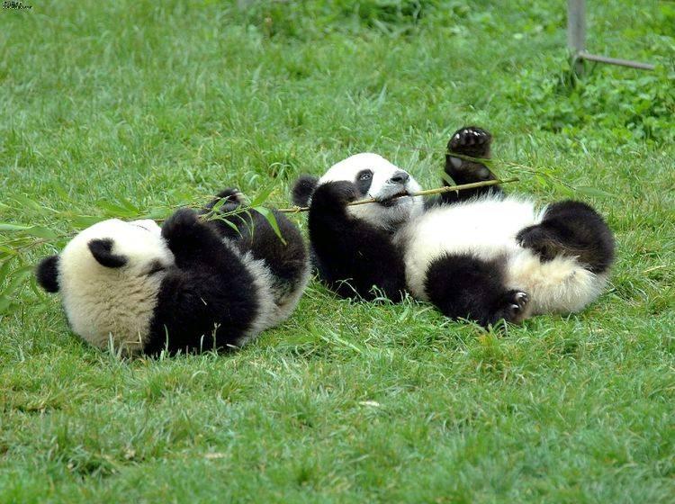 Kleine Pandabären sind besonders verspielt