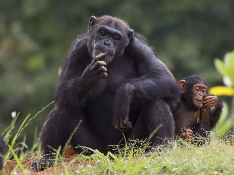 Ein begabter Künstler: Der Schimpanse