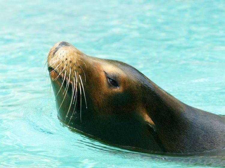 Seelöwen können durch einen Trick mit der Lunge die Taucherkrankheit vermeiden
