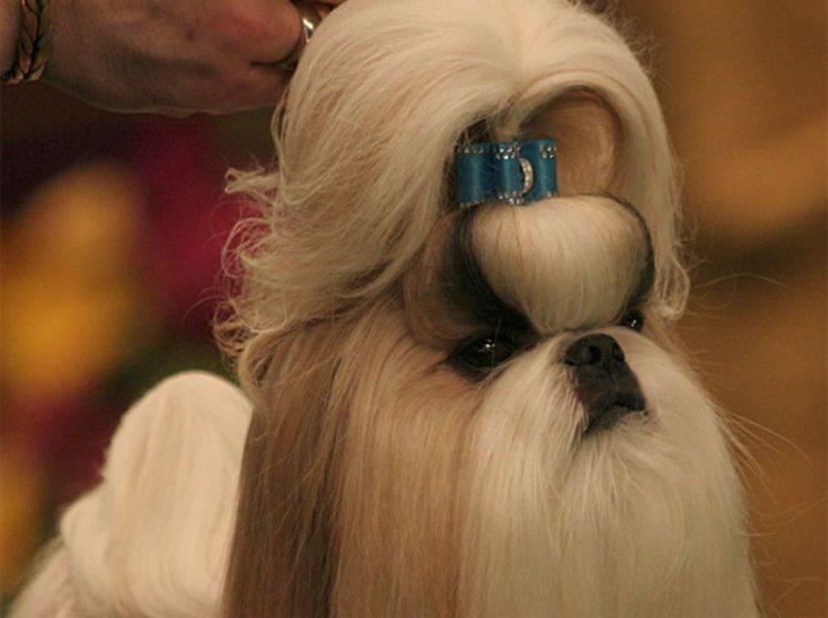 Shih Tzu: Ein eingemessen präsentierter Hund?