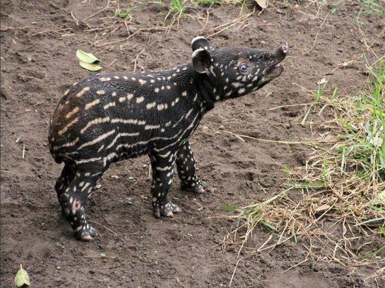 Das süße Baby-Tapir ist der neue Star im Leipziger Zoo