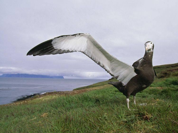 Wanderalbatros-Vogel-Fluegel