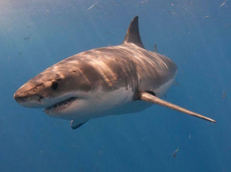 Weißer Hai: Der größte Raubfisch der Welt — Bild: Shutterstock / cdelacy