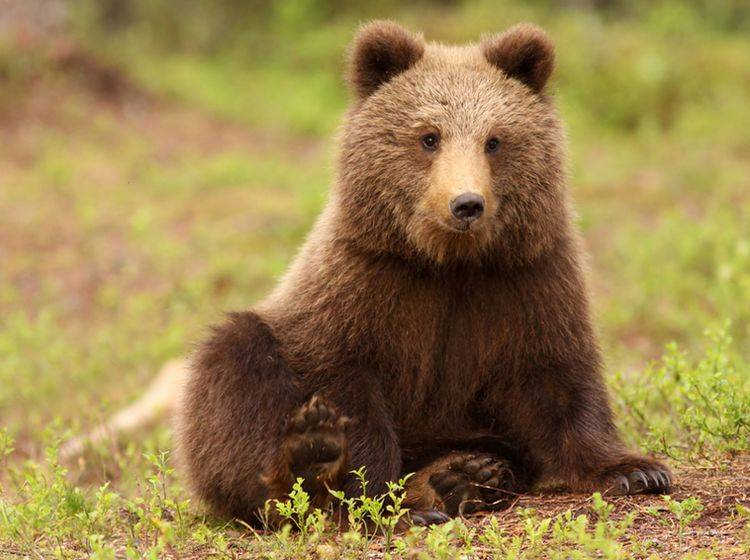 Ein Braunbär wie dieser erschreckt zuzeit Touristen in der Schweiz. Wird er wie Bruno rum Problembär?