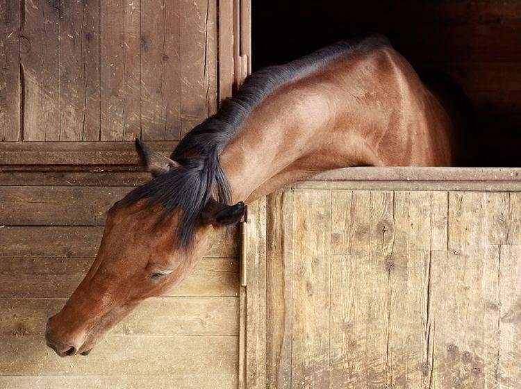 Englisches Vollblut in seiner Box: Auch ein Houdini-Horse wie Mariska?