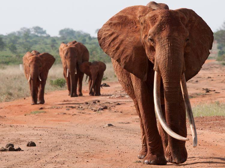 roter-Elefant-Stosszaehne