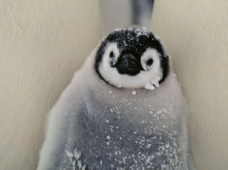 Pinguin ganz klein: Süß und flauschig — Bild: Shutterstock / BMJ