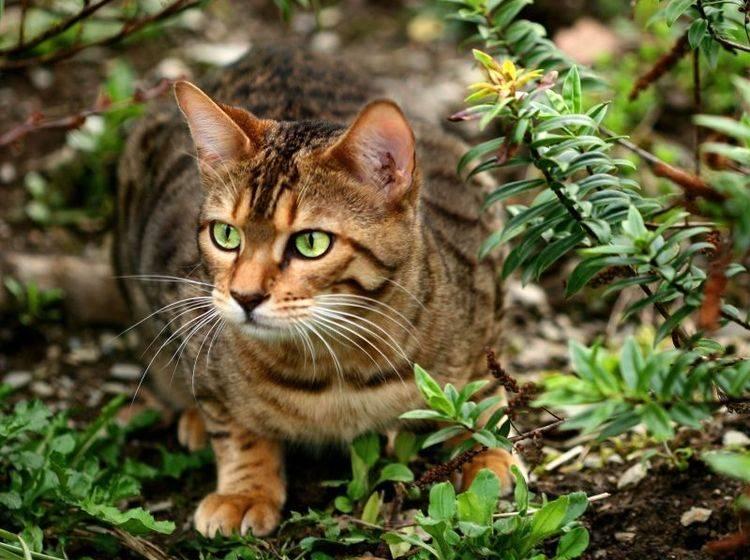 Die hübsche Bengal ist eine Katze, die den Freigang liebt und braucht — Bild: Shutterstock / marilyn barbone