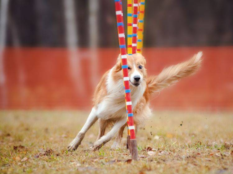 Border Collie beim Hundeslalom: Dieses Agility-Hindernis besteht normalerweise aus 8 bis 12 Stangen — Bild: Shutterstock / Ksenia Raykova