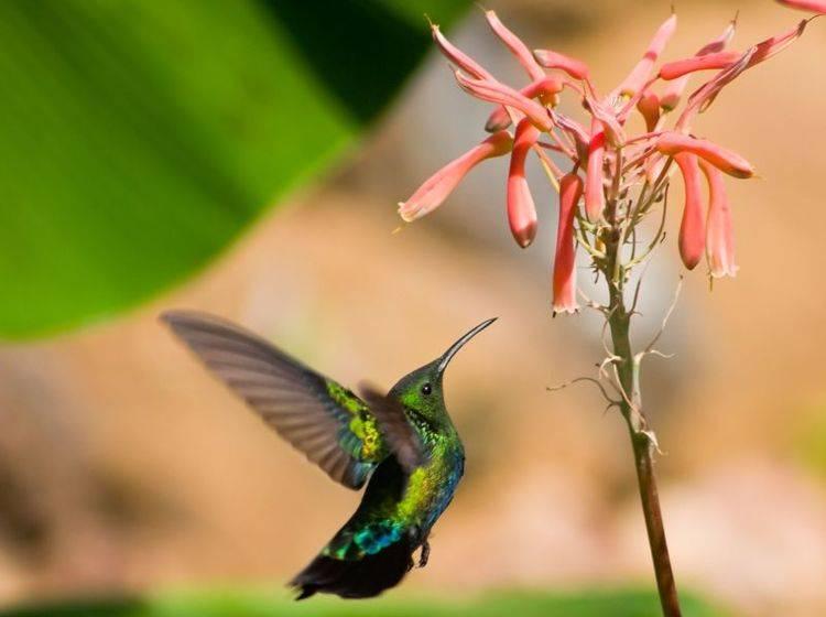 Doktorvogel: Man weiß nicht genau, warum er so genannt wird. Vielleicht wegen seines pipettenartigen Schnabels – Bild: Shutterstock / Jared Shomo