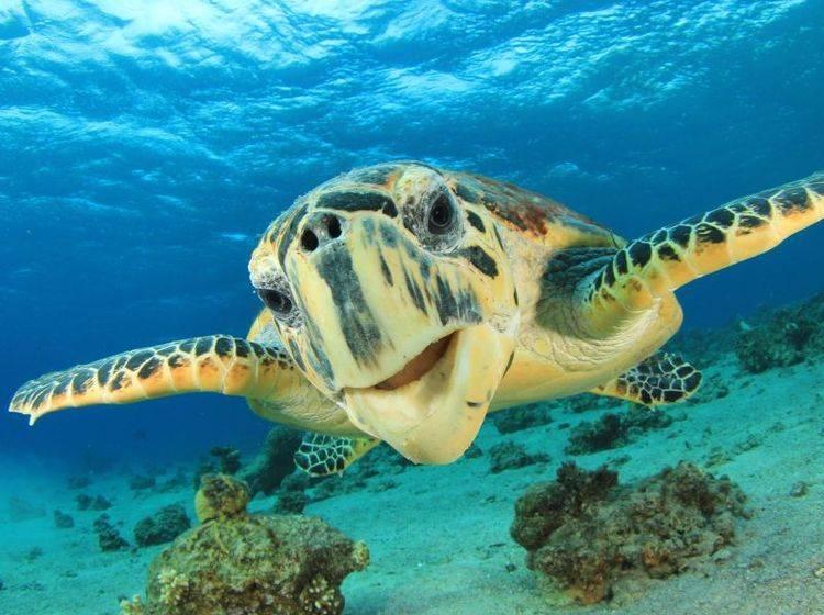 Im Tauchgang: Echte Karettschildkröte — Bild: Shutterstock / Rich Carey