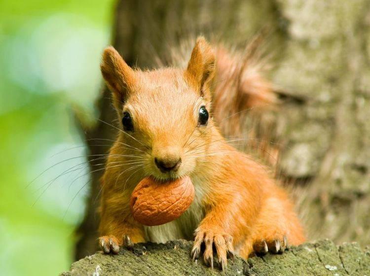 Eichhörnchen werden nach dem langen kalten Winter wieder richtig aktiv und munter — Bild: Shutterstock / yuriy kulik