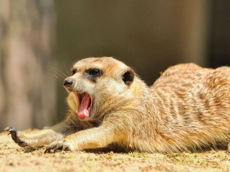 Ein Schläfchen in der Sonne? Genau das Richtige für müde Erdmännchen — Bild: Shutterstock / AnetaPics