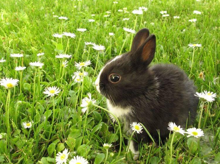 Niedlich: Schwarzweißer Hase auf einer gemütlichen Osterwiese — Bild: Shutterstock / Richard Peterson
