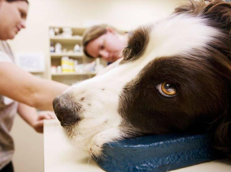 Der Tierarzt kann Ihrem Hund bei einem Wurmbefall am besten helfen — Bild: Shutterstock / CREATISTA