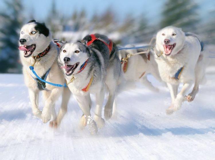 Als Schlittenhunde zeigen Huskys ihre Ausdauer und ihr Temperament — Bild: Shutterstock / AnetaPics