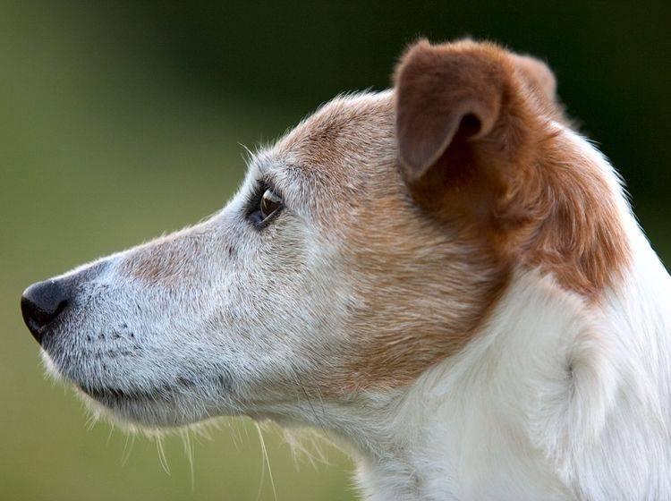 Jack Russell Terrier: Gerade noch mal Glück gehabt! — Bild: Shutterstock / Marcel Nijhuis