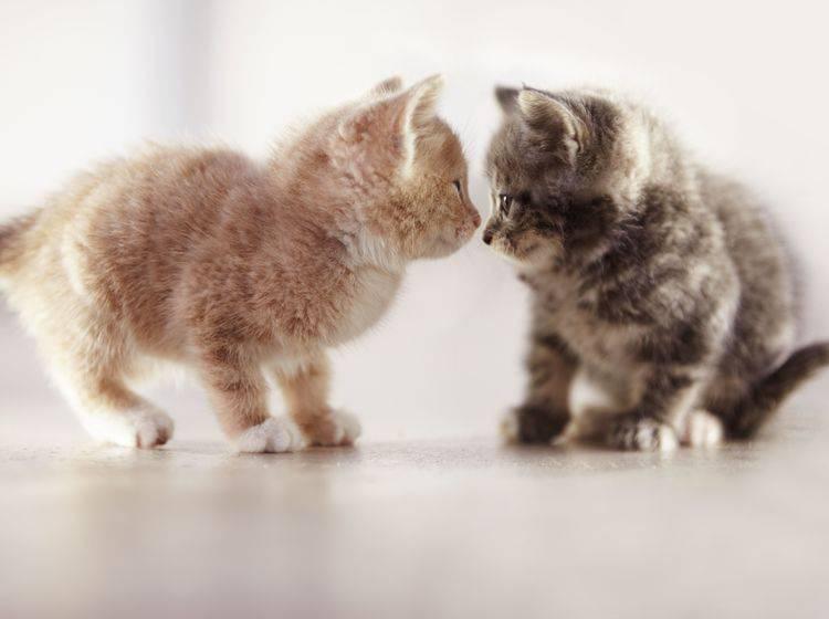 """""""Huch, du siehst ja heute anders aus!"""" Katzenbabys beim Spielen — Bild: Shutterstock / Yuri Arcurs"""