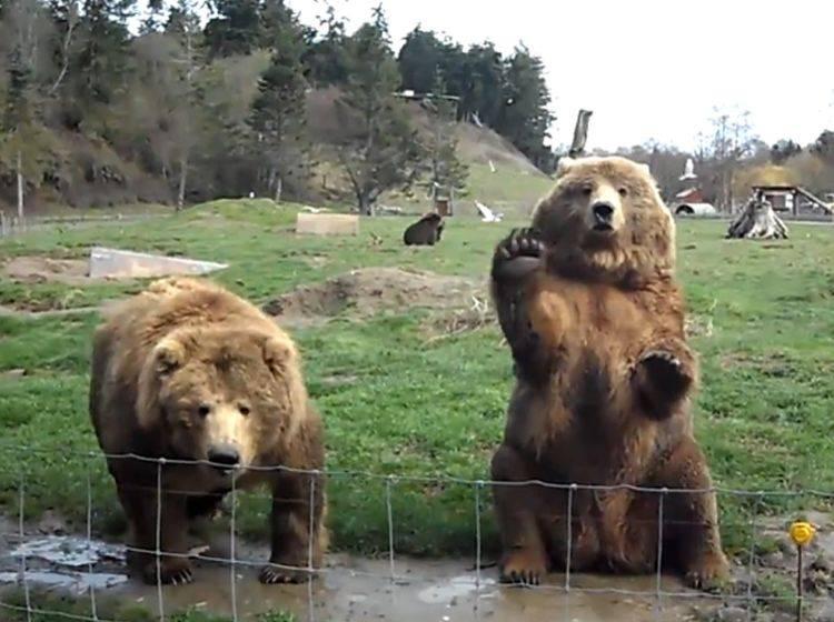 Scheinbar gut gelaunte Kodiakbären winken den Parkbesuchern zu