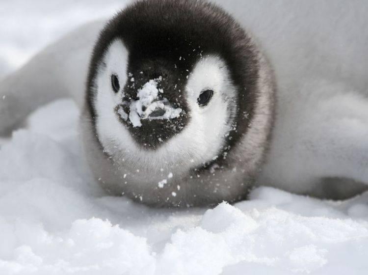 """Königspinguin: """"Schnee? Klasse! Aber Schluss mit den Schneebällen!!!"""" — Bild: Shutterstock / Gentoo Multimedia Limited"""