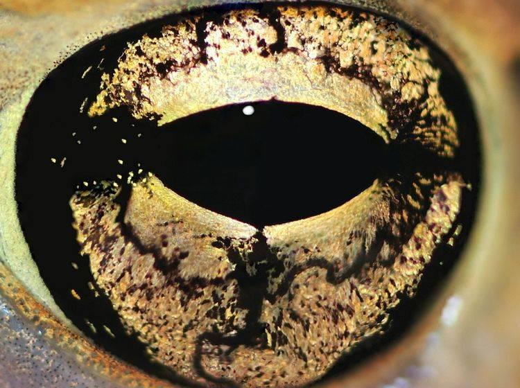 Gold gemustert und wunderschön: Welchem Tier gehört dieses Auge? — Bild: Shutterstock / StevenRussellSmithPhotos