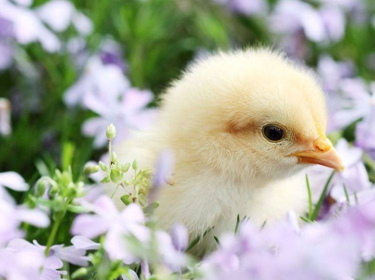 Kleines Küken, großer Ausflug: Im Lavendelfeld lässt's sich Leben! — Bild: Shutterstock / Stephanie Frey