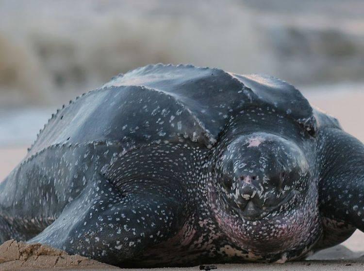Lederschildkröte: Mit bis zu 916 kg das schwerste Reptil — Bild: Shutterstock / Stephanie Rousseau