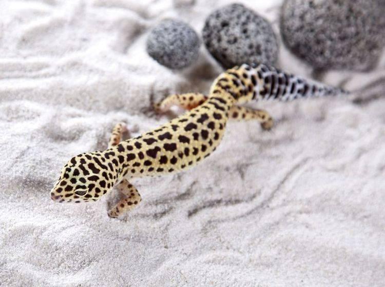 Leopardgecko: Ein hübscher kleiner Kerl mit einem Muster wie sein Namensvetter — Bild: Shutterstock / FikMik