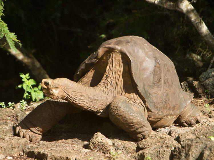 Lonesome George wird einbalsamiert – Bild: Shutterstock / Sunshine Pics