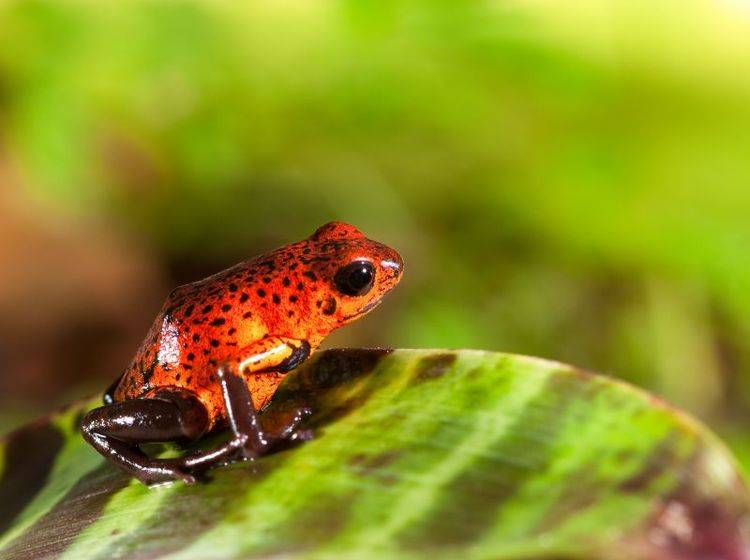 Roter Baumsteigerfrosch auf Tour: Was für ein Farbenspiel — Bild: Shutterstock / Dirk Ercken