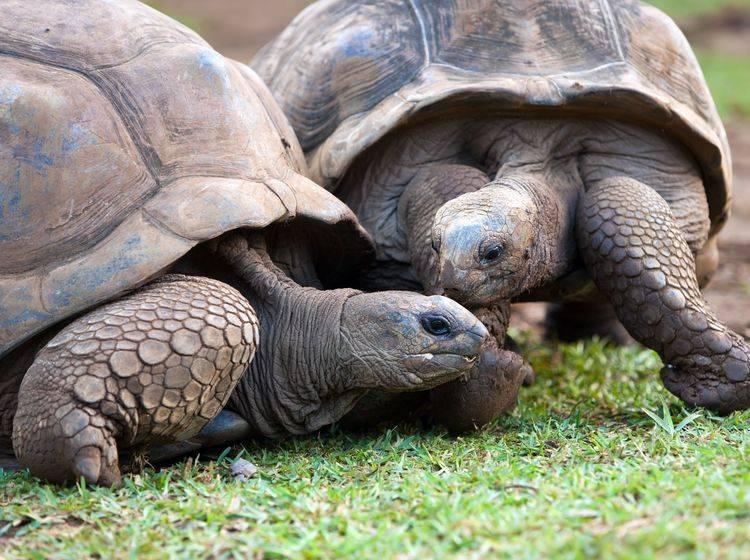 Zwei Seychellen-Riesenschildkröten — Bild: Shutterstock / KKulikov