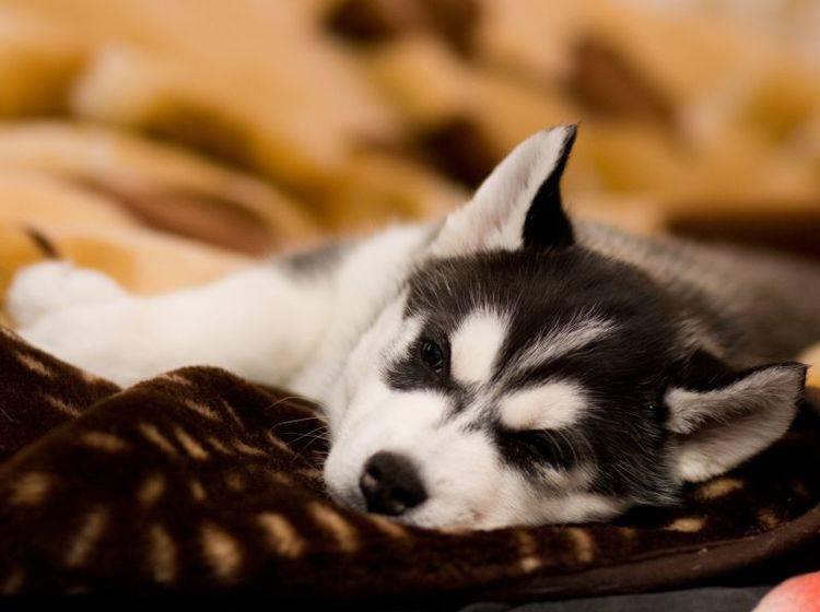 Total entspannt: Diesen Siberian Husky bringt nichts aus der Ruhe — Bild: Shutterstock / Nata Sdobnikova