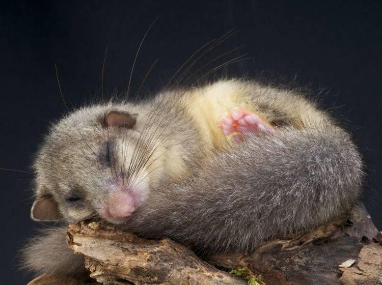 Siebenschläfer: Schläft ganze sieben Monate durch ohne Nahrungsaufnahme – Bild: Shutterstock / reptiles4all
