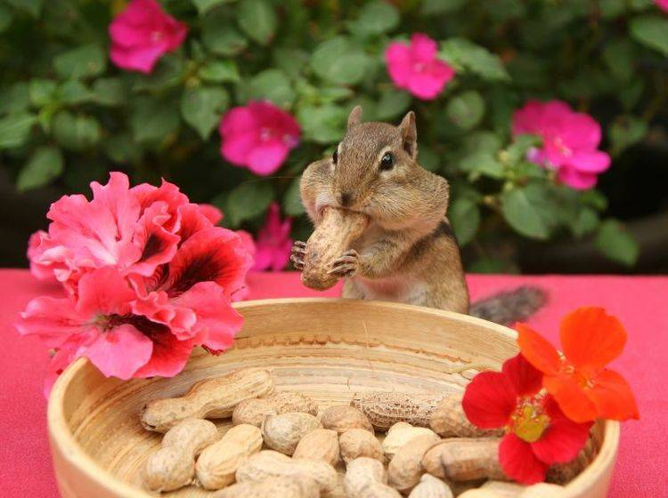 """Streifenhörnchen beim Mitagessen: """"Lecker Erdnüsse"""" — Bild: Shutterstock / Elaine Davis"""