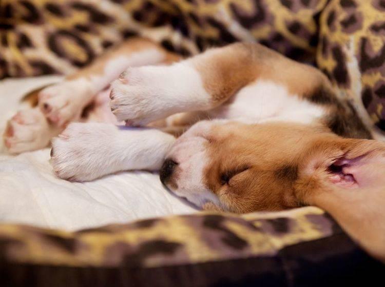 Total gemütlich: Hundebett für Welpen — Bild: Shutterstock / Solovyova Lyudmyla