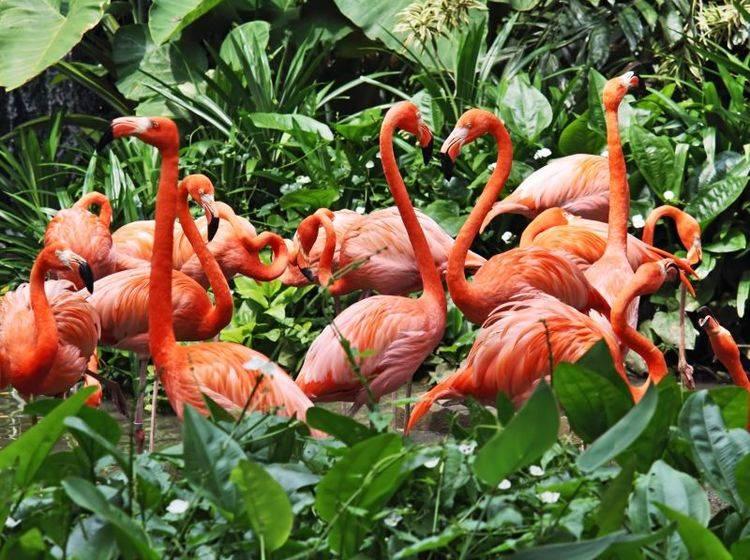 Flamingos sind gesellig. Ihre Kolonien bestehen oft aus Tausenden Vögeln — Bild: Shutterstock / irakite