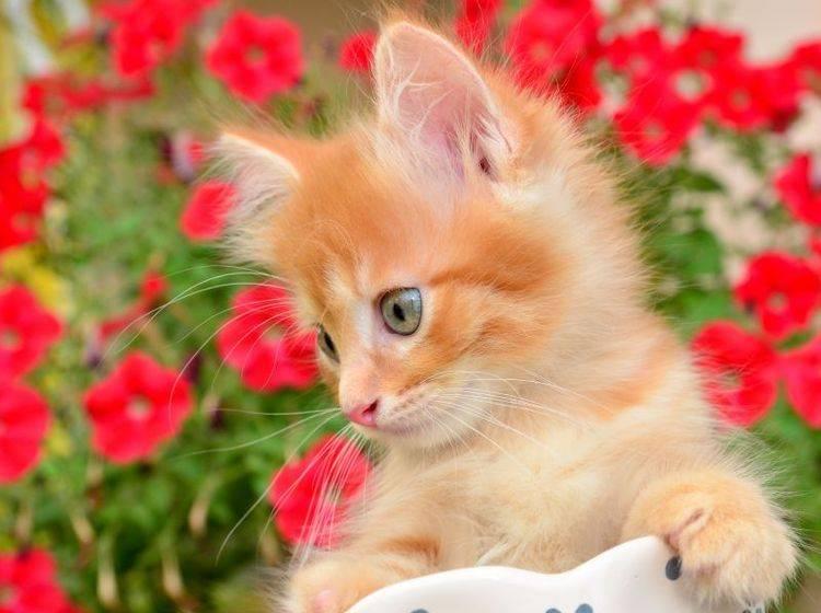 Sonne und Blumen - Was will eine kleine Katze mehr? — Bild: Shutterstock / hwongcc