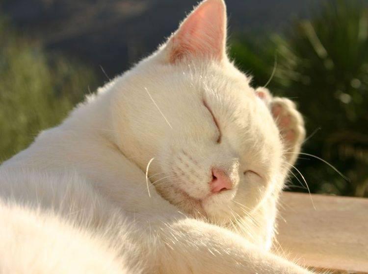 Eine schöne weiße Katze genießt den Sonnentag — Bild: Shutterstock / itakefotos4u