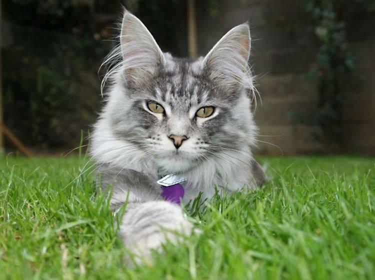 Imposant aber sanftmütig: Maine Coon Katze in ihrer vollen Pracht — Bild: Shutterstock / niall dunne