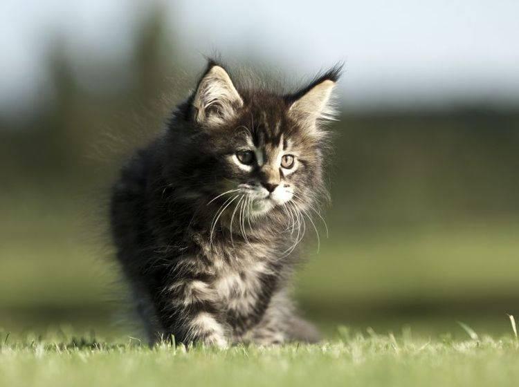 Wie alle Katzenbabys sind junge Maine Coons neugierig und verspielt — Bild: Shutterstock / Okeanas