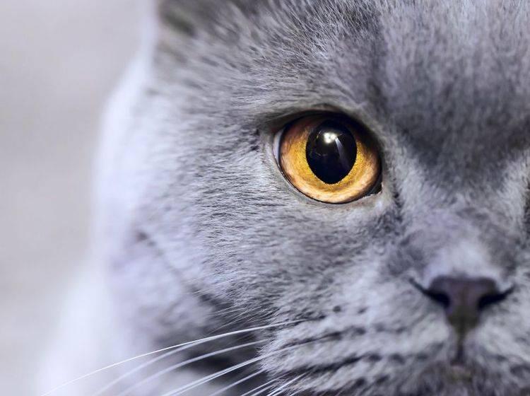 Die Augen der Russisch Blau Katze sind auffällig schön — Bild: Shutterstock / Maxim Blinkov