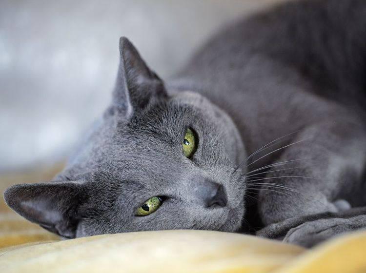 Aber meistens sieht man die Russisch Blau Katze eher so — Bild: Shutterstock / Nailia Schwarz