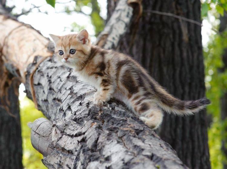 Ausflug einer Tigerkatze: Diese kleine Britisch Kurzhaar will hoch hinaus! — Bild: Shutterstock / Aleksei Ruzhin