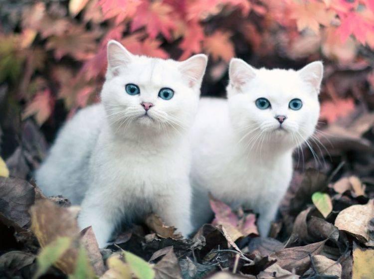 Im Doppelpack auf Tour: Zwei wunderschöne Chinchilla Katzen mit blauen Augen — Bild: Shutterstock / deamles