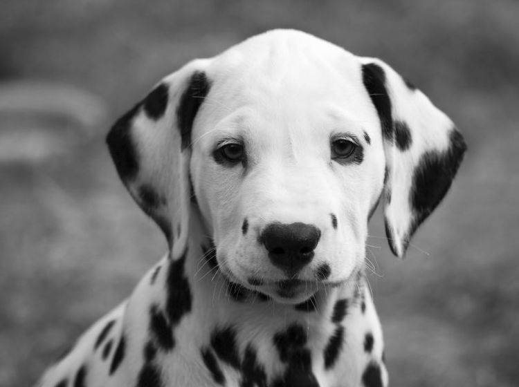 Süßer Dalmatiner: Wer kann diesem Hundeblick widerstehen? — Bild: Shutterstock / Oliver Hoffmann