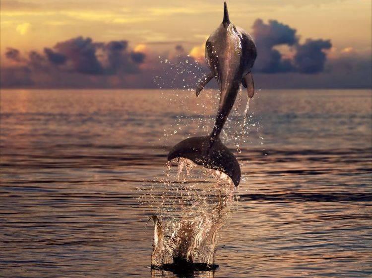 Sonneuntergang, Delfine, das Meer: Was will man mehr? — Bild: Shutterstock / Willyam Bradberry