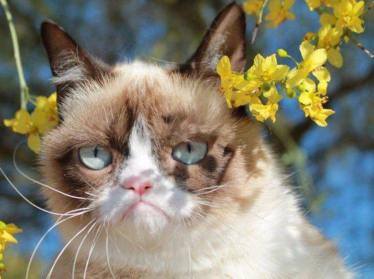 """""""No!"""" Grumpy Cat ist immer dagegen — jedenfalls sieht sie so aus — Bild: 2013 Facebook / Grumpy Cat."""