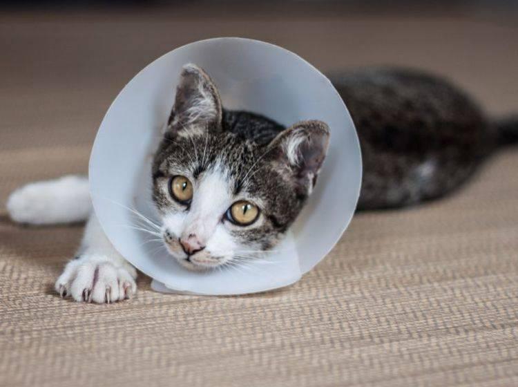 Die Kosten für die Kastration Ihrer Katze sollten Sie vor der Anschaffung mit einkalkulieren – Shutterstock / nalinratphi