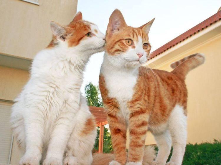 Katze kastrieren: Ein Vorteil ist die bessere Verträglichkeit mit Artgenossen — Bild: Shutterstock / ruzanna